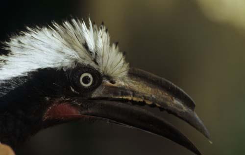 (Este pájaro podría perder la mitad de su hábitat en 2100.) (Foto: Walter Jetz, UC San Diego)