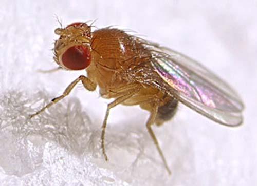 (Drosophila melanogaster.) (Foto: Cornell U.)