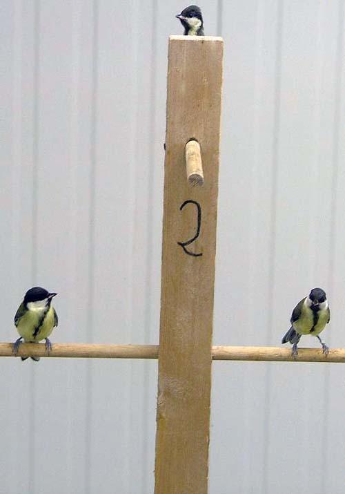 (Los jóvenes pájaros exploran los árboles artificiales en el laboratorio.) (Foto: Kees van Oers)