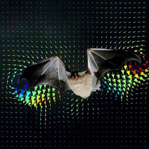 (Un murciélago de la especie Glossophaga soricina, en el interior de un túnel de viento, en Suecia.) (Foto: Lund University, Sweden)