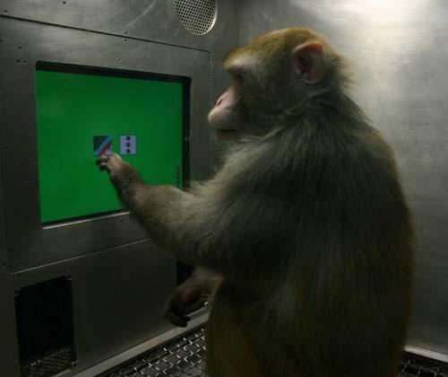 (Un mono rhesus elige entre imágenes al tocar la pantalla de un monitor.) (Foto: Herbert Terrace/Columbia University)