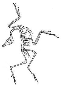(En esta postura quedó, al morir, este espécimen de Archaeopteryx.) (Foto: UC Berkeley)