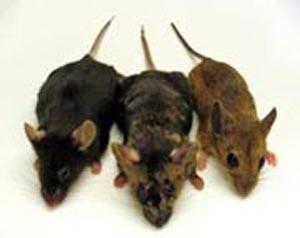(De izquierda a derecha, el Mus musculus, la quimera y el Apodemus sylvaticus.) (Foto: Bruce Lahn)