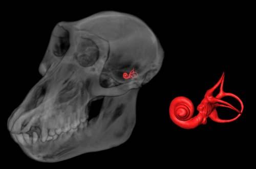 (Reconstrucción por ordenador de un cráneo de babuino hembra, mostrando la posición del oído interno y sus canales.) (Foto: Alan Walker lab, Penn State)