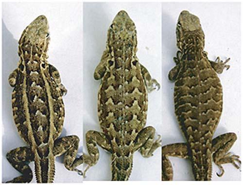 (Los diferentes patrones de los lagartos.) (Foto: Lesley Lancaster)