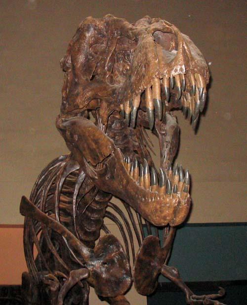 (Esqueleto de un tiranosaurio.) (Foto: Wikipedia)