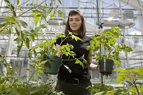 (Tracy Rosebrock muestra variedades de plantas del tomate.) (Foto: Lindsay France/Cornell University)